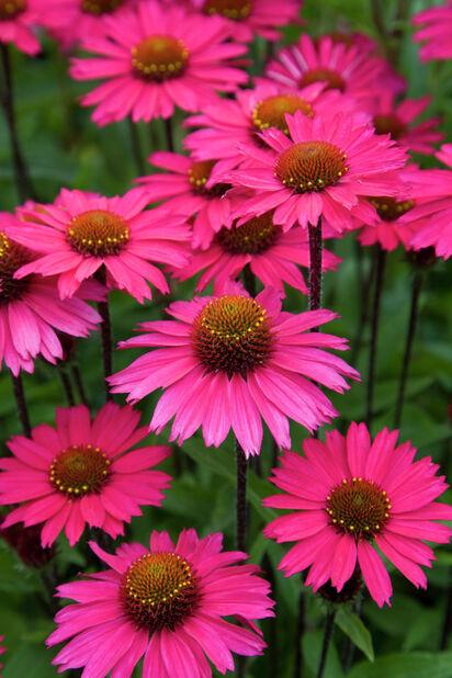 Solhatt 'Sensation Pink', Ø11 cm, Rosa