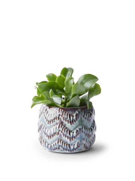 Crassula mini, Höjd 10 cm, Grön