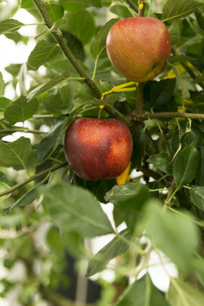 Dvärgträd äpple 'James Grieve', Höjd 80 cm, Röd