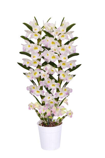 Dendrobium nobile 'Kumiko', Höjd 40 cm, Flerfärgad