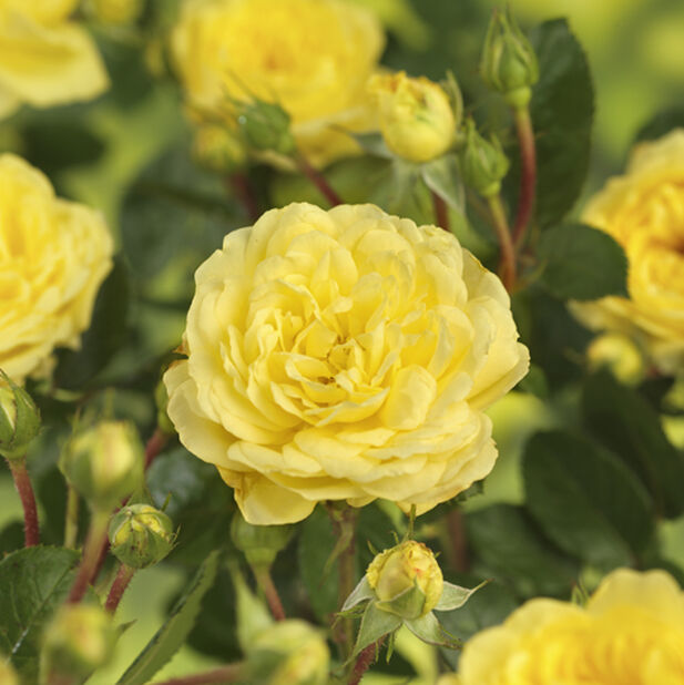 Terrassros 'Meilove gul', Ø23 cm, Gul
