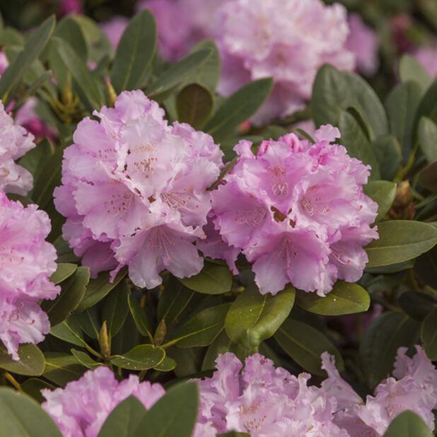 Yakushimanum-rododendron 'Dreamland', Ø21 cm, Rosa