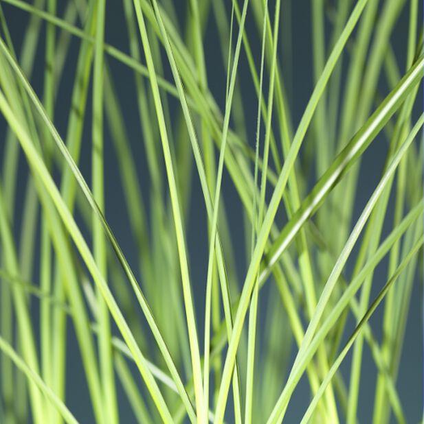 Glansmiskantus 'Gracillimus', Ø19 cm, Grön