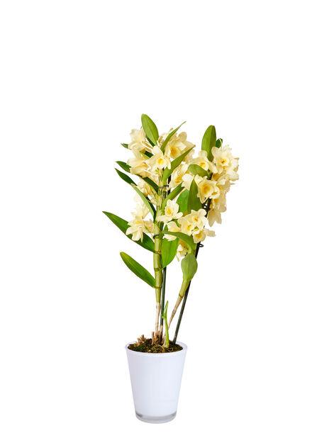 Dendrobium orkidé 'Pommery Vanille'
