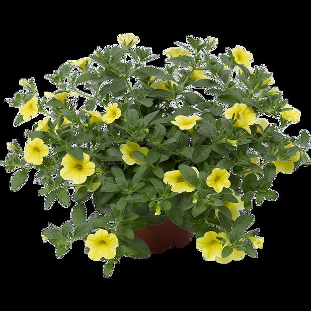 Petunia 'Yellow', Ø12 cm, Gul