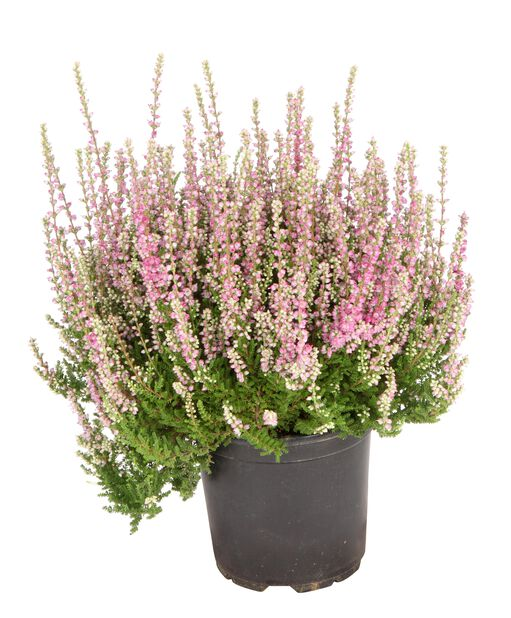 Ljung Calluna enkel blommande