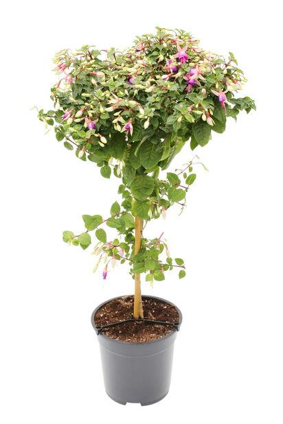 Fuchsia på stam, Ø19 cm, Flera färger
