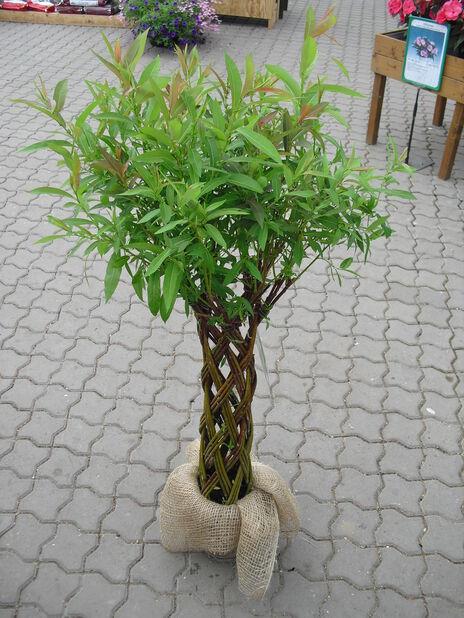 Flätad vide, liten, Höjd 50-60 cm, Grön