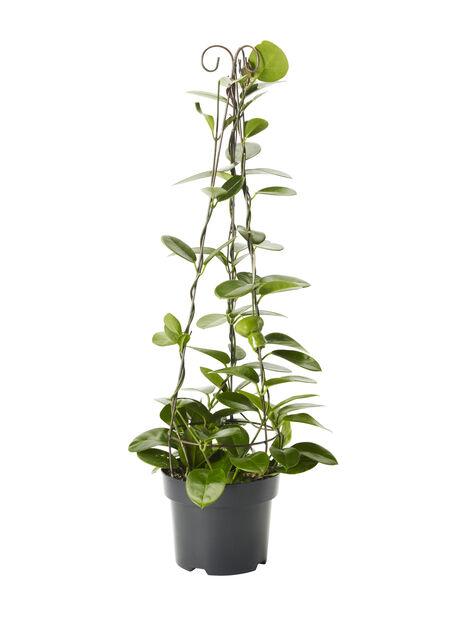 Porslinsblomma, Höjd 80 cm, Grön