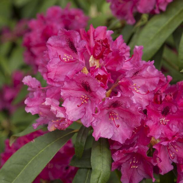 Rhododendron-hybrider, Ø100 cm, Rosa
