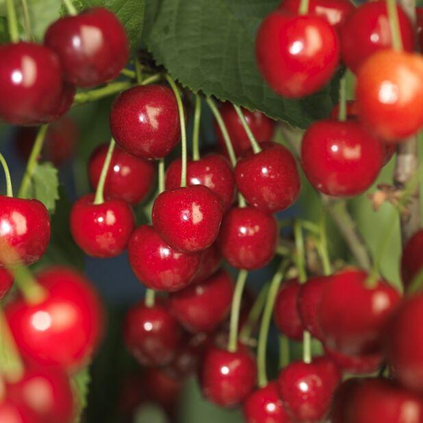 Dvärgträd körsbär 'Stella', Höjd 100 cm, Röd