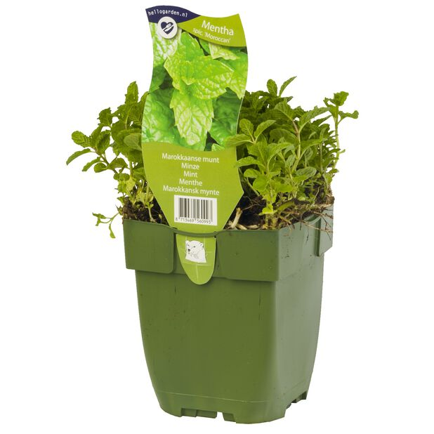 Grönmynta 'Marrocan', Ø10.5 cm, Grön