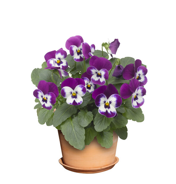 Viola small fl. Blue/Purple 12 cm
