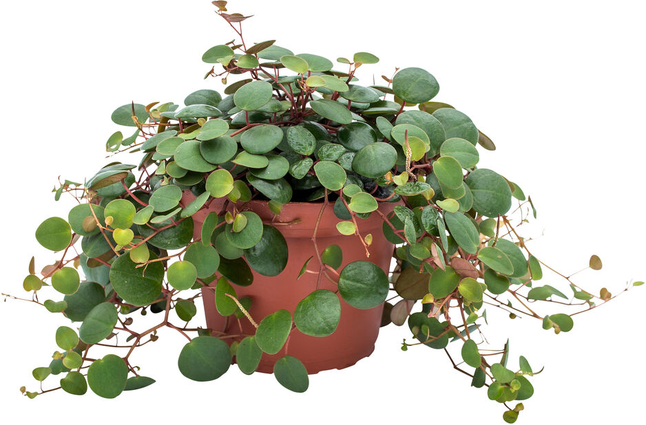 Peperomia 'Pepperspot', Höjd 25 cm, Grön