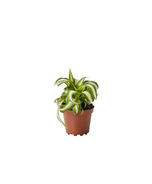 Ampellilja, Höjd 10 cm, Grön