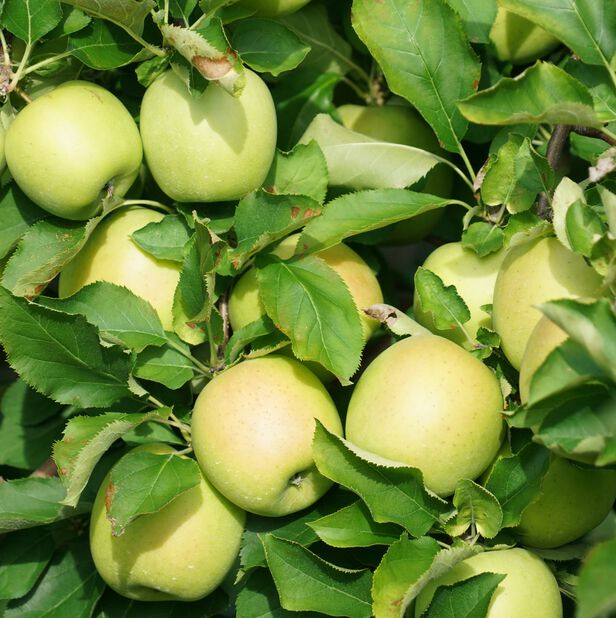 Äpple 'Silva', Gul