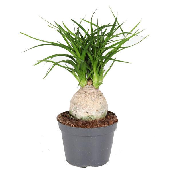 Gröna miniväxter, Höjd 12 cm, Grön