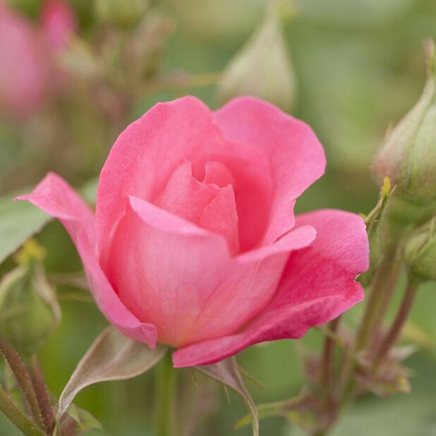 Klasblommig ros 'Melrose', Höjd 25 cm, Rosa