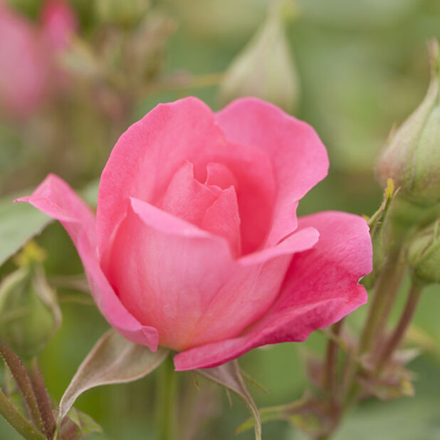 Klasblommig ros 'Melrose', Ø19 cm, Rosa