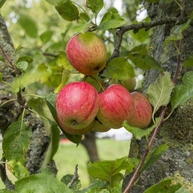 Äpple 'Summerred', Höjd 180 cm, Röd