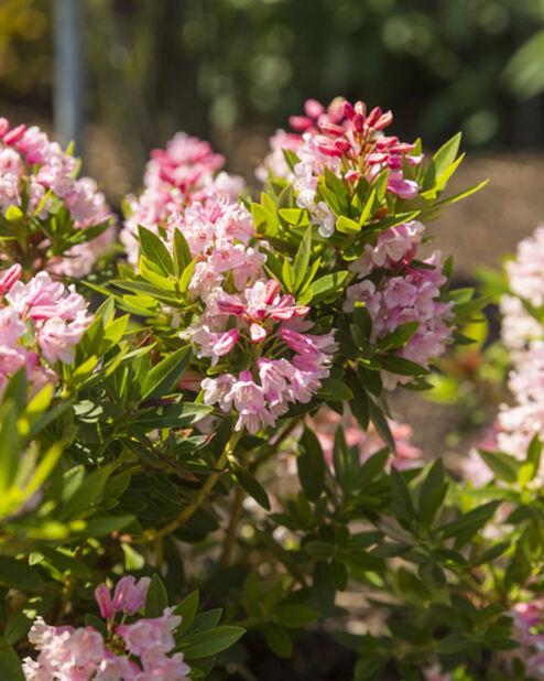 Skvattramalpros 'Bloombux', Ø19 cm, Rosa