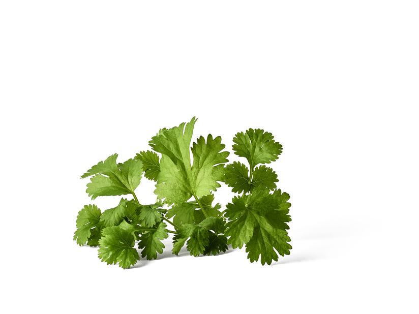 Koriander, Ø10.5 cm, Grön