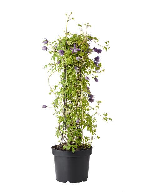 Atragene-klematis 'Spiky' på torn, Höjd 75 cm, Blå
