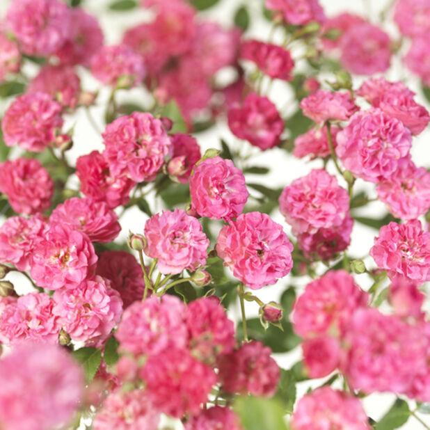Marktäckande ros 'Lovely Fairy', Ø23 cm, Rosa