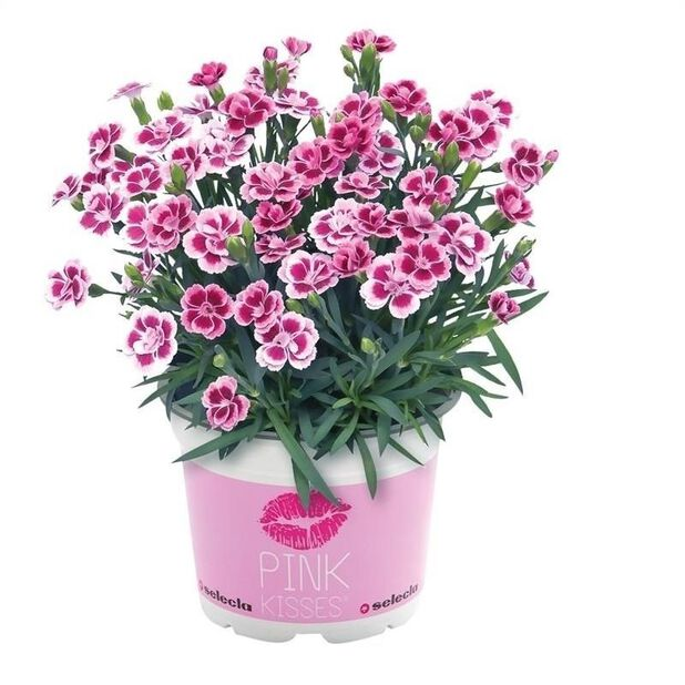 Trädgårdsnejlika 'Pink Kisses', Ø10.5 cm, Rosa