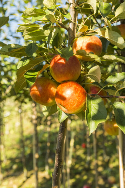 Balkongträd, äpple