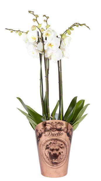 Brudorkidé med 20+ blommor
