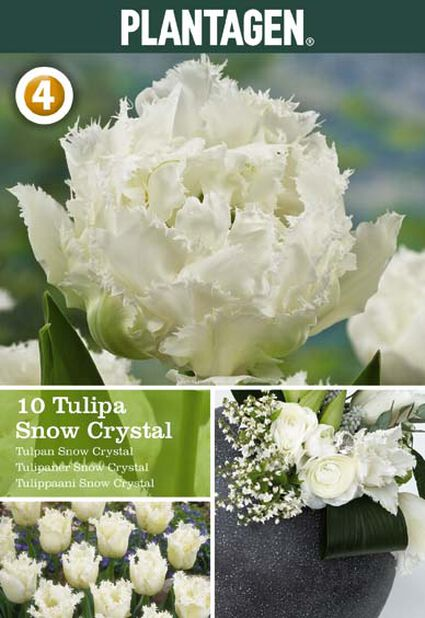 Tulpan 'Snow Crystal', Flera färger