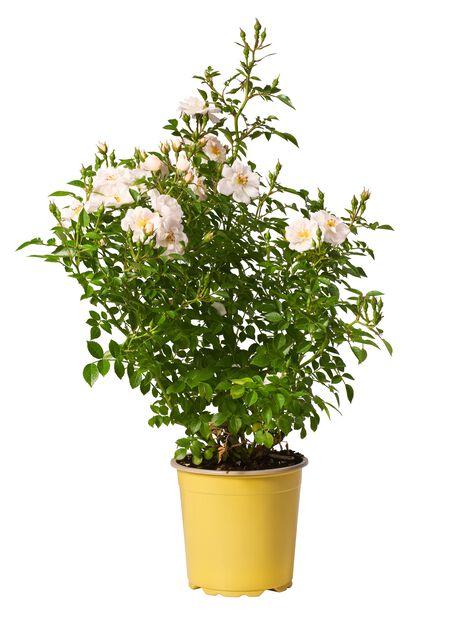Klasblommig ros, Ø19 cm, Vit