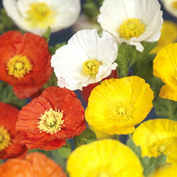 Sibirisk vallmo 'Gartenzwerg' , Ø17 cm, Flera färger