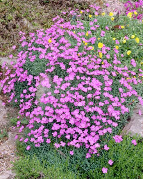 Bergnejlika 'Pink Jewel', Höjd 15 cm, Rosa