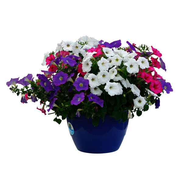 Petunia mix i ampel
