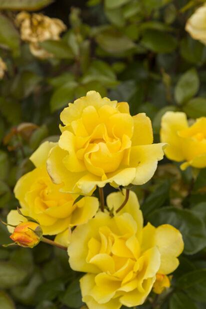 Rosa 'Golden Climber' 3L