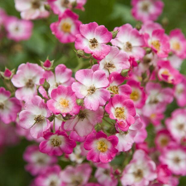 Marktäckande ros 'Lavender Dream', Ø19 cm, Lila
