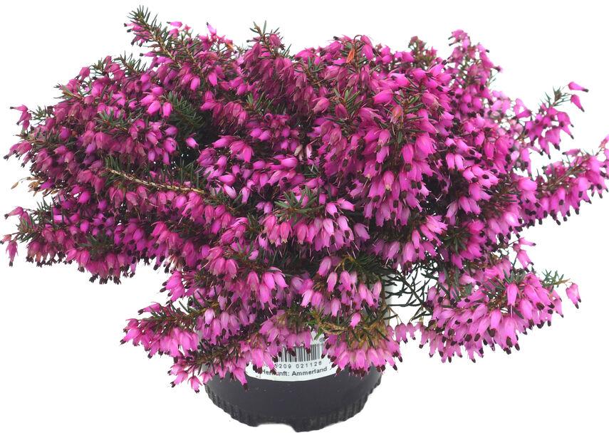 Vårljung, Ø10.5 cm, Röd