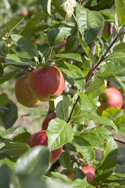 Äpple 'Mantet' A2, Höjd 150 cm, Gul