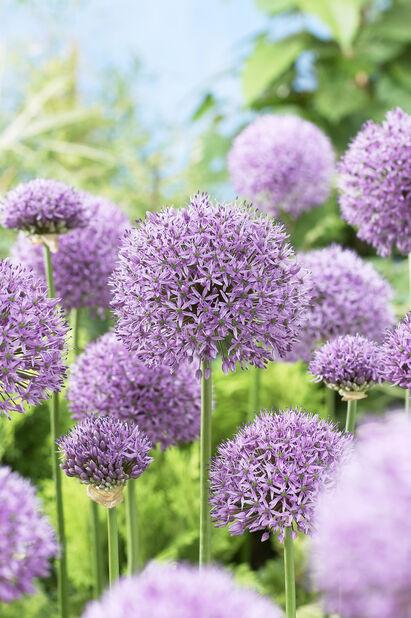 Allium 'Gladiator', Flera färger