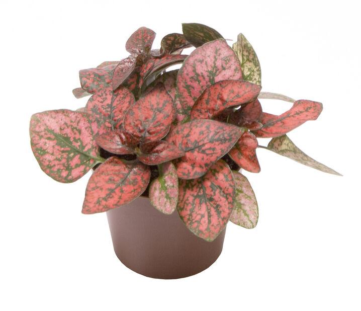 Rosenstänk'Red' mini, Höjd 8 cm, Röd