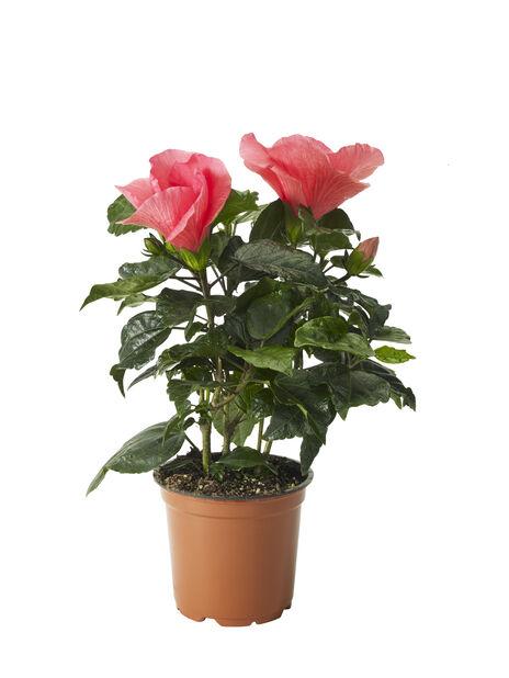 Hibiskus, Höjd 25 cm, Rosa
