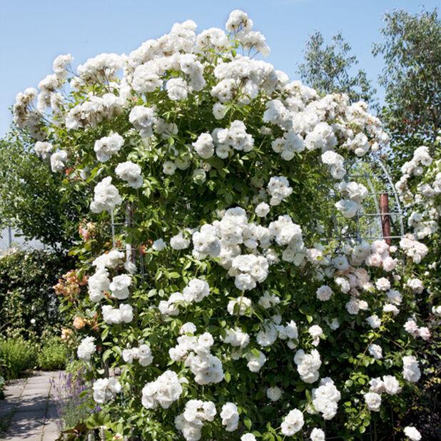 Rose 'Polstjärnan', Ø19 cm, Vit