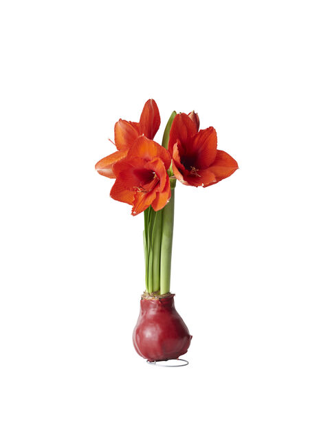 Amaryllis, Ø13 cm, Flera färger