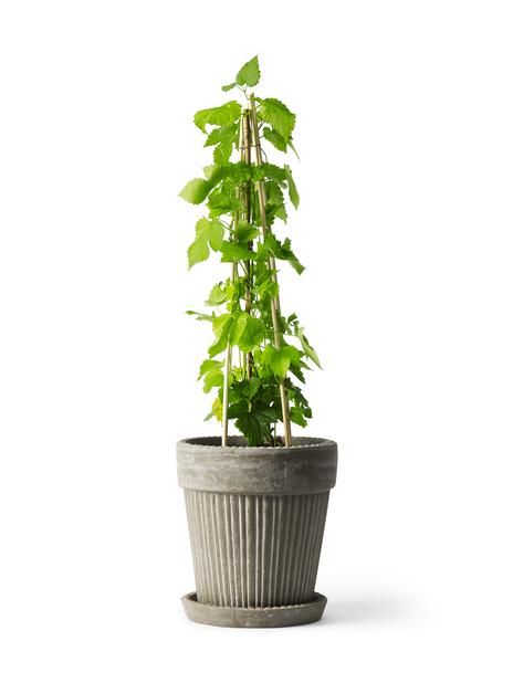 Humle 'Nordbrau', honplanta, Höjd 70 cm, Grön