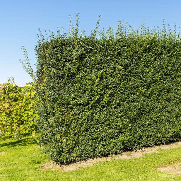 Liguster, Ø17 cm, Grön
