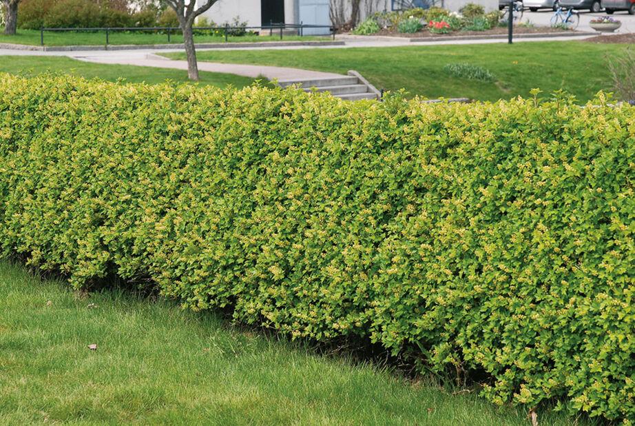 Måbär 'Schmidt', Höjd 40 cm, Grön