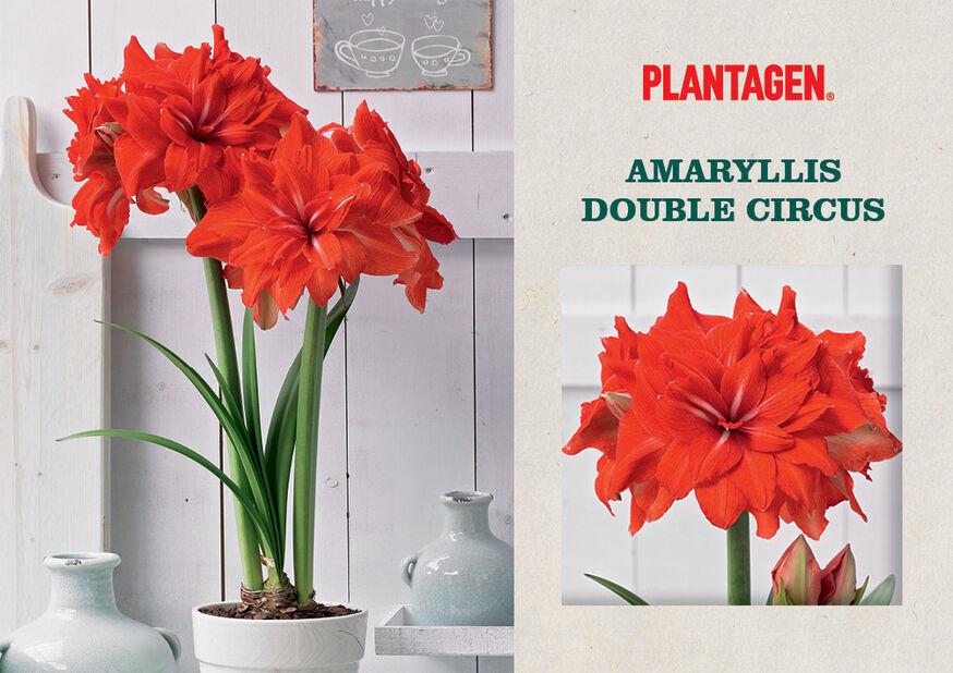 Amaryllis 'Double Circus', Flerfärgad