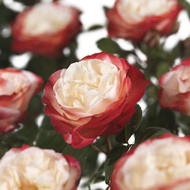 Storblommig ros NOSTALGIE på stam, Höjd 70-90 cm, Flerfärgad